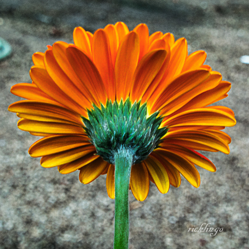 """7th place in """"Flowers"""" for the day on the international website Pixoto."""