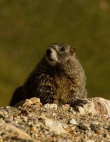 Rocky Mountain Marmot