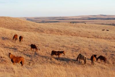 Wild Horses in the Flint Hills