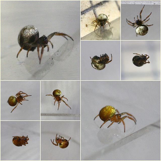 examples of ray spiders