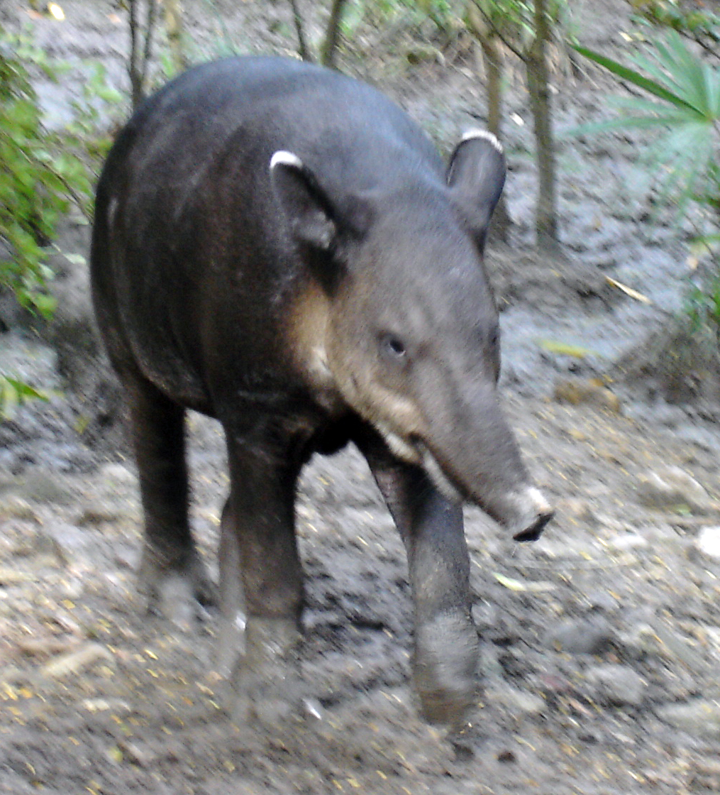 Tapirs of Belize