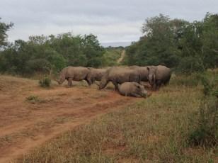 Rhinos Kapama