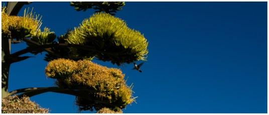 Kolibri an einer Agavenblüte, zugegeben totaler Zufall dies Foto