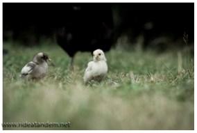 Absolut typisch für die Carretera Austral Hühner in jeder Grösse
