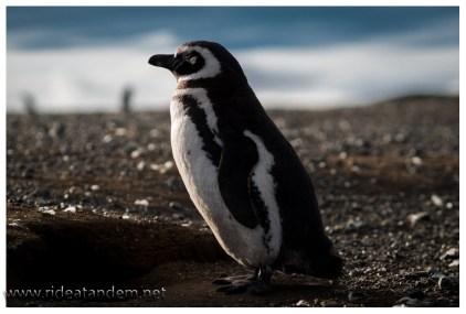 Manche Pinguine sind verdammt cool und lassen Nähe zu.