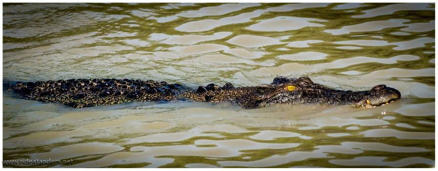 Sobald die Salties nur ein paar Zentimeter unter Wasser sind, sind sie für uns nicht zu sehen. Da ihre Augen aber mit mehreren Lidern geschützt sind, darunter ein durchsichtiges, haben sie eine art Taucherbrille auf und können wunderbar sehen unter wie über Wasser. Klasse für deren Jagdverhalten.