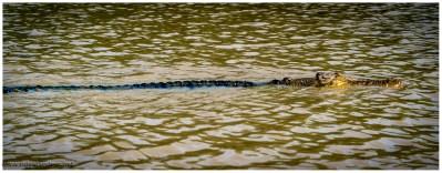 Die Krokodile kennen natürlich das Boot und wissen um das Stück Fleisch. Es gibt aber durchaus auch Krokodile die dieses Touristenspiel nicht mitmachen und nur gelangweilt zuschauen.