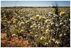 Die Wüste hat vor ein paar Wochen Regen bekommen und reagiert darauf..... Wir finden es klasse