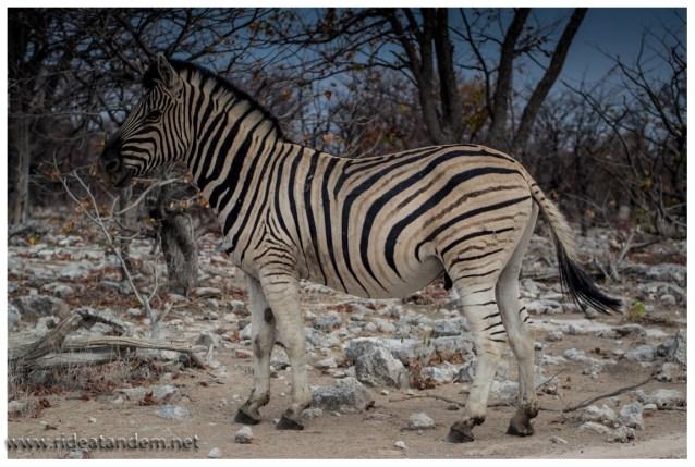 Aus der Serengeti kennen wir riesige Herden von Zebras, meist gemischt mit Gnus. Hier sind meist nur Kleinstgruppen unterwegs.