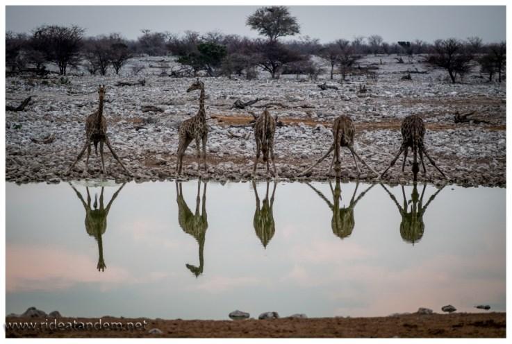 """So gerne wie die Giraffen trinken, so anstengend und kompliziert ist es für sie. Zudem sind sie in dieser """"Pose"""" auch deutlich anfälliger für Löwenangriffe, entsprechend vorsichtig sind sie beim Nähern ans Wasserloch und trinken."""