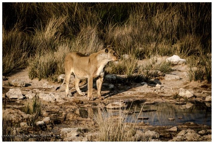 Das Gras am Wasserloch ist perfekt für die Löwen.
