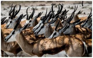 Springböcke, das Nationaltier Südafrikas, gibt es viele viele viele. Tagsüber in der Sonne ist es denen zu heiss.....