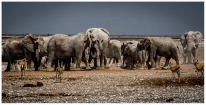 Bei einem Wasserloch haben wir richtig Glück, mehr als 40 Elefanten drängen sich am Wasserloch. Andere Tiere wie Springböcke, Oryxe usw. müssen sich gedulden.