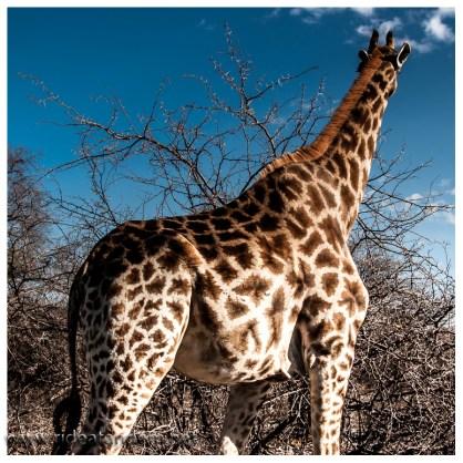 Trotz der Grösse der Giraffen sind sie erstaunlich schwer zu finden. Das überrascht uns jedesmal wieder.