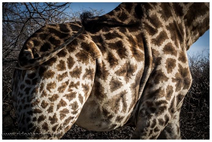 Irgendwie sind diese Tiere immer so gross, das es mit dem Photo schwierig ist sie vollkommen aufs Bild zu bekommen.