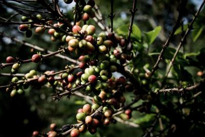 Uganda Kaffee