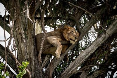 Uganda Löwe im Baum