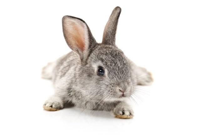 Baby Bunny on white background