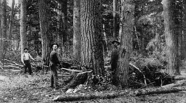 Historic images of tree felling