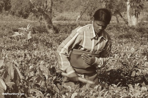 A plantation worker pruning the Camellia sinensis or 'tea plant'.
