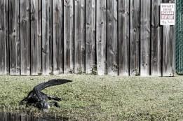 An effective guard dog. Everglades, FL, USA