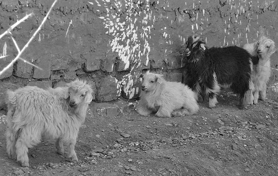 Goats-B&W