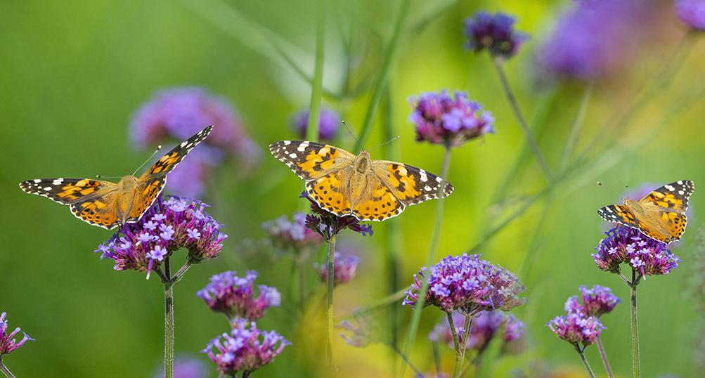 vlinders in een veld