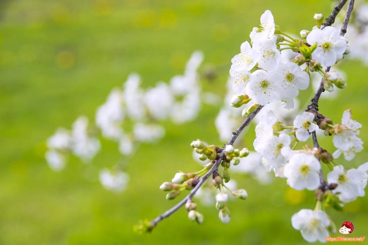 marvelous-flowering-cherry-1366109_1280