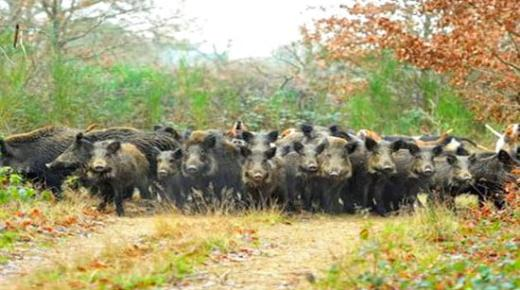 اطلاق حملة لقنص الخنزير البري بجهة الشمال