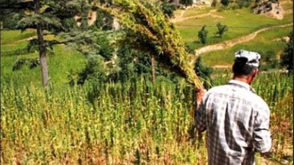 الأمم المتحدة والاتحاد الأوروبي يحذران من تقنين زراعة الكيف