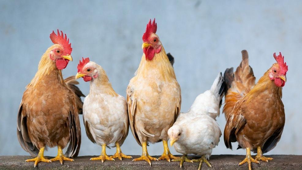 طبيب يحذر من مرض قاتل يسببه تناول لحم الدجاج