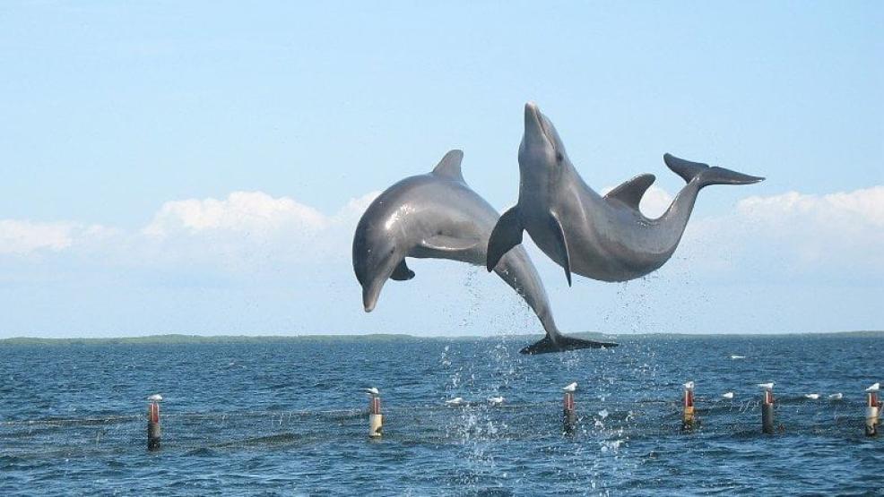 تصدير اثنين من دلافين البحر الأسود إلى المغرب .. والسلطات الروسية تتدخل
