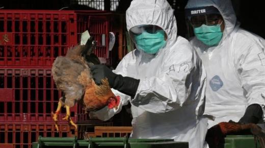 السلطات الألمانية تأمر بذبح 62 ألف دجاجة بعد تفشي انفلونزا الطيور في المزارع