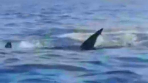 """فيديو: الجدل يرافق ظهور """"قرش"""" أبيض بسواحل مليلية وبني انصار"""