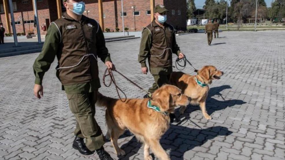 الكلاب يمكنها التعرف على مصابي كورونا فى بلجيكا