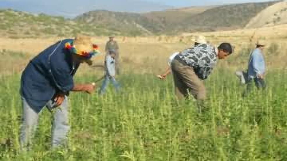 تقرير أممي : المغرب أكبر مصدر للحشيش في العالم