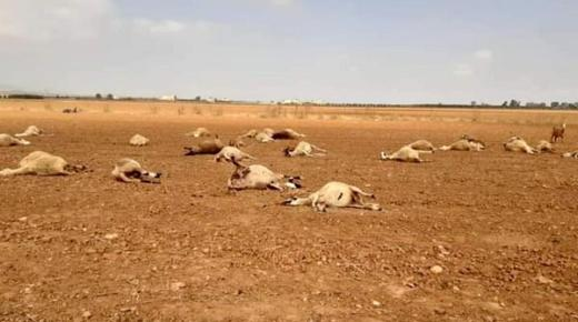 نفوق حوالي 100 رأس من الغنم بجماعة بني وكيل إقليم الناظور لهذا السبب (صور)