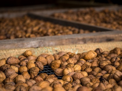 The walnuts are drying before being pressed for the oil