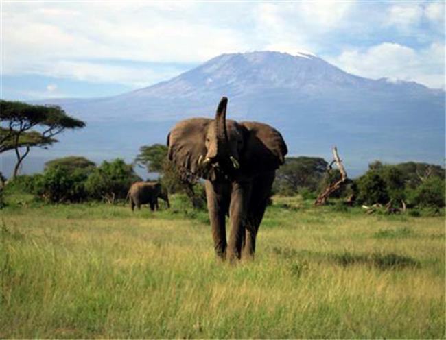 Elephants Amboseli Kenya