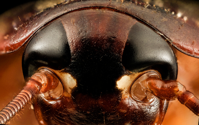Cockroaches, February 2014 by USGS Bee Inventory and Monitoring Lab