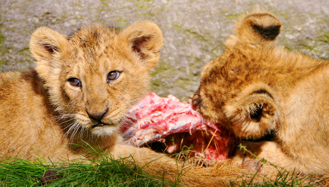 Two lion cubs eat meat, October 2010 by Tambako the Jaguar