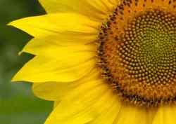 divine proportion sunflower