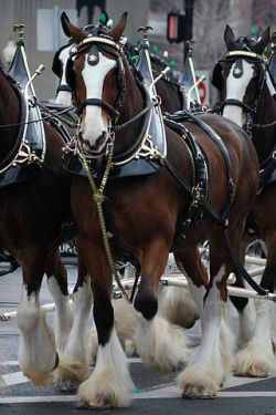 320px-Budweiser Clydesdales Boston