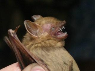 Southern Bat Wikimedia