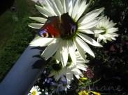 Echinacea virgin med fjäril