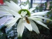 Echinacea virgin med solbadande bi(som levde)