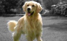 Golden-Retriever-Dogs-Wallpaper-HD 2