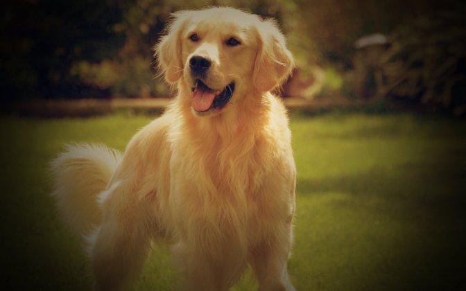 Golden-Retriever-Dogs-Wallpaper-HD 3