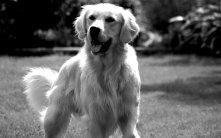 Golden-Retriever-Dogs-Wallpaper-HD