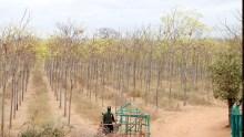 Kiambere-plantagen i juli 2017